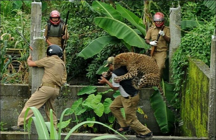 Leopard Goes Nuts and Attacks People (7 pics)