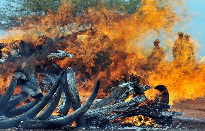 Ivory Burned in Kenya (9 pics)