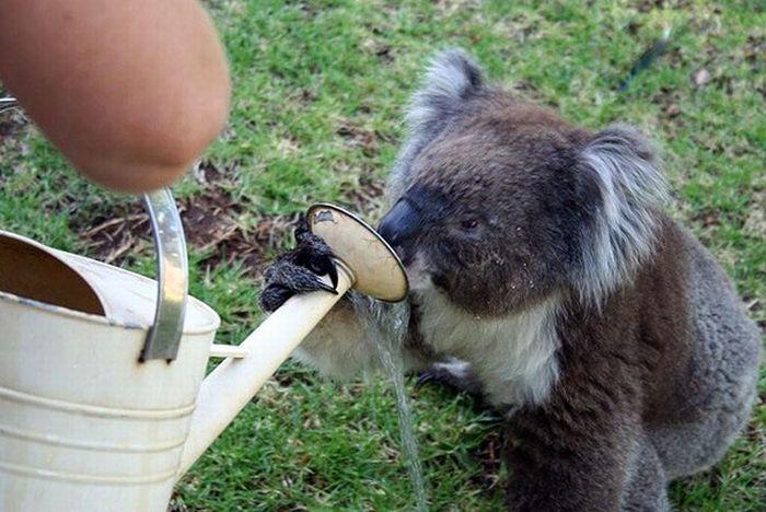 Koalas Cooling Down (17 pics)