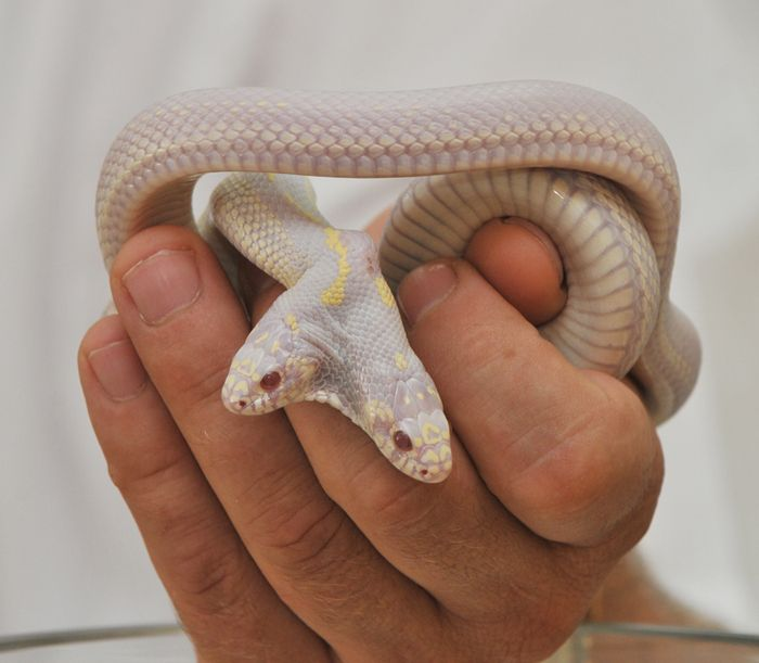 Albino Snake with Two Heads (9 pics)