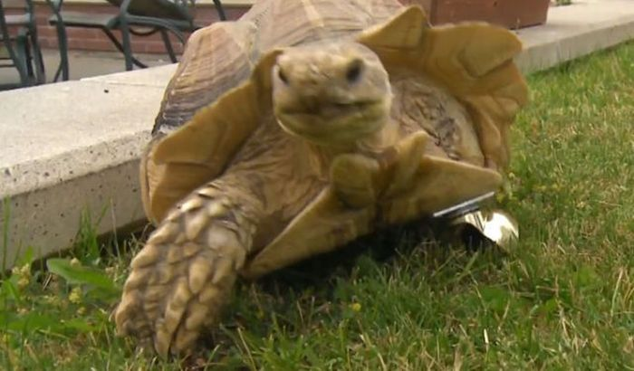 Prosthesis for a Tortoise (5 pics + 1 video)
