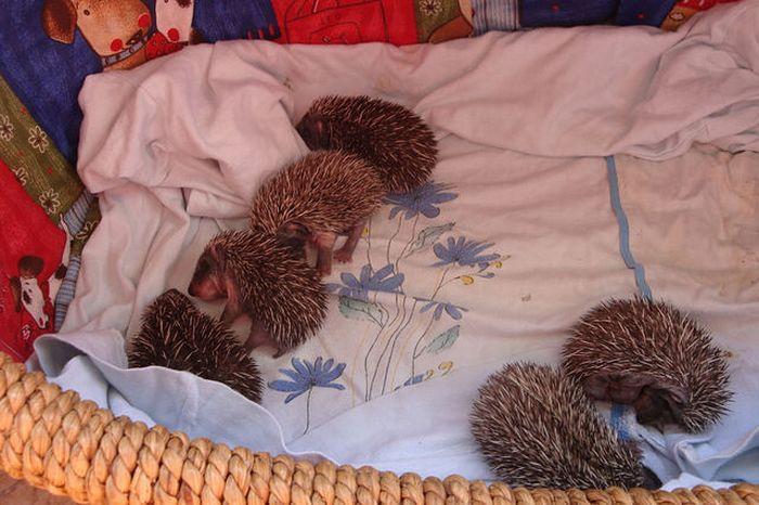 Funny Little Hedgehogs (10 pics)