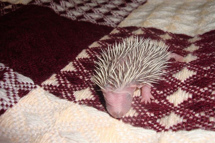 Funny Little Hedgehogs (10 pics)