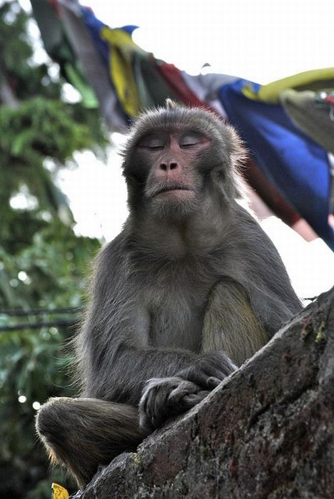 Meditating Monkeys (22 pics)