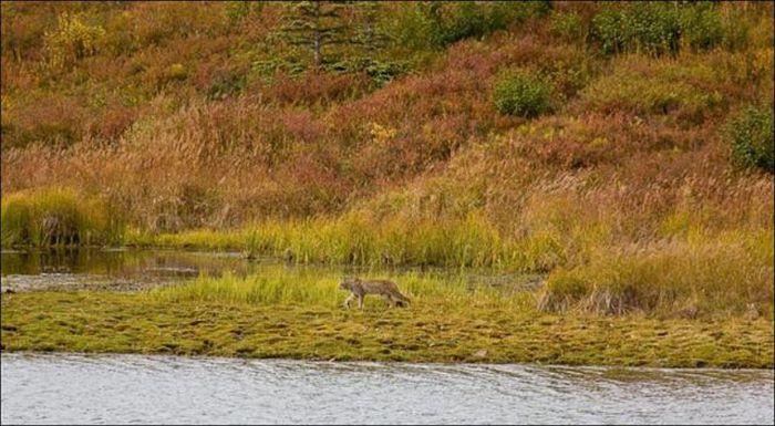 Wild Lynx Hunting (9 pics)