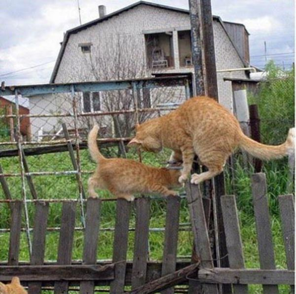 Two Cats, One Fence (4 pics)