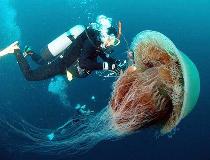 Giant Jellyfish at Kayak Point in Washington (13 pics)