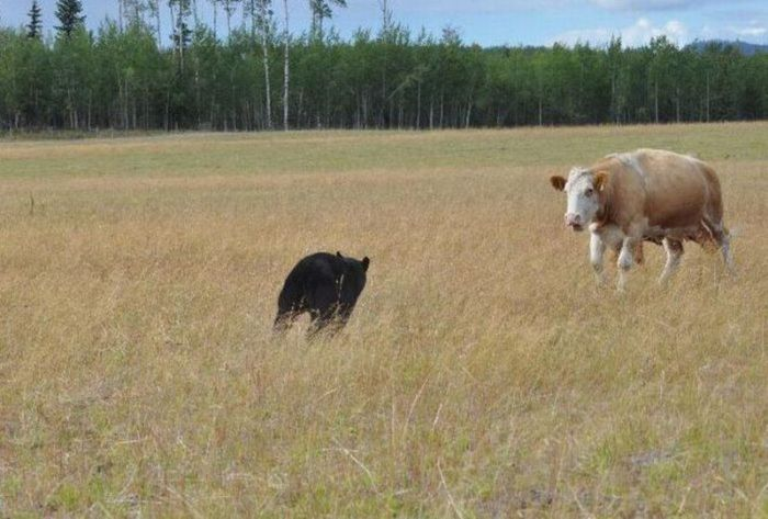 Cow Herd Battles a Bear (8 pics)