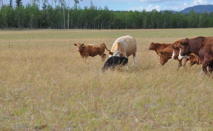 Cow Herd Battles a Bear (8 pics)