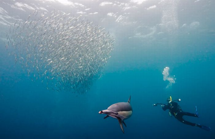 The Sardine Run (9 pics)