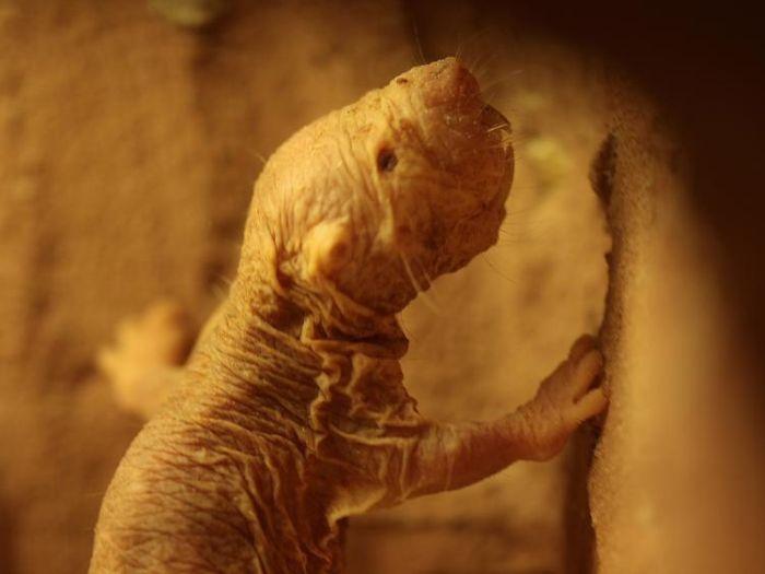 Naked Mole Rat (7 pics)