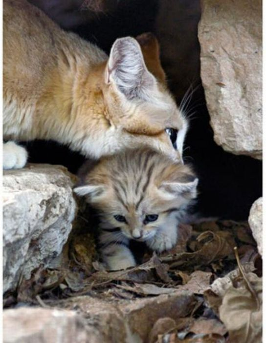 Sand Cat Kitten (13 pics)