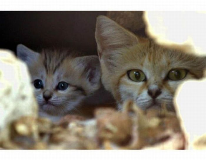 Sand Cat Kitten (13 pics)
