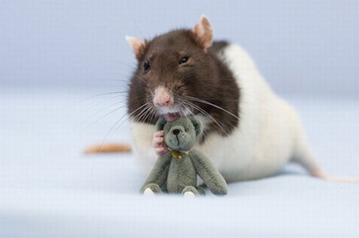 Bug is the Cutest Rat on the Net (32 pics)