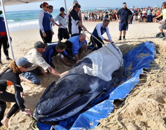 Saving a Baby Humpback Whale (4 pics)