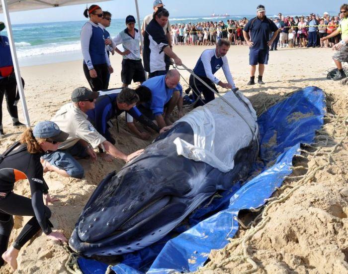 Saving a Baby Humpback Whale (4 pics)