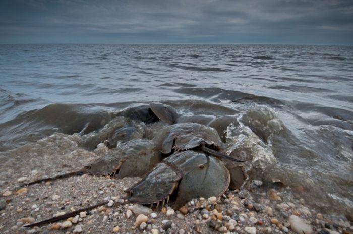 Horseshoe Crabs (16 pics)