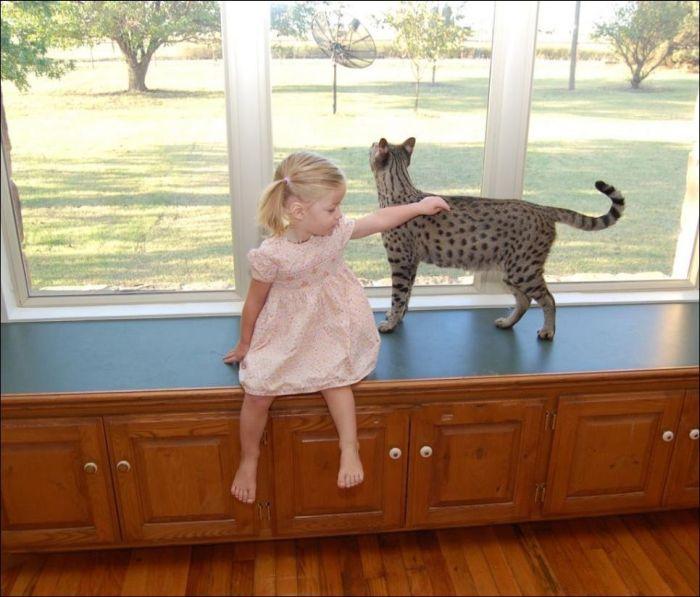 Savannah Cats (11 pics)