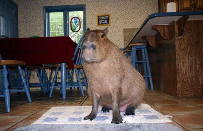 Pet Capybara (12 pics)