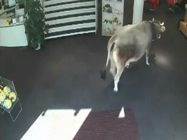 Cow Walks Through Clothing Store in Austria (5 pics)