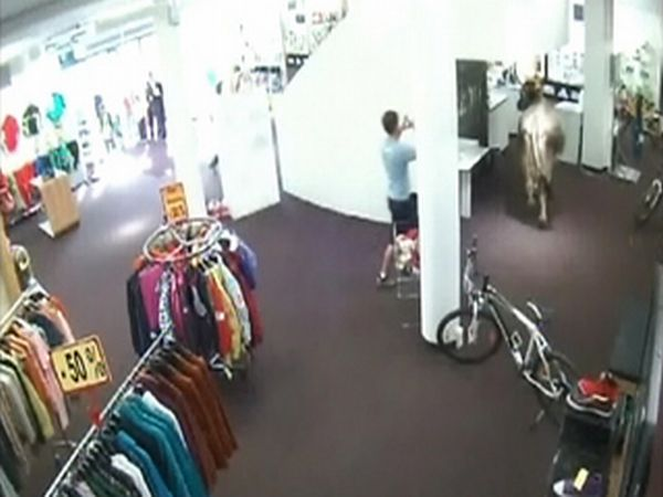 Cow Walks Through Clothing Store in Austria (5 pics)