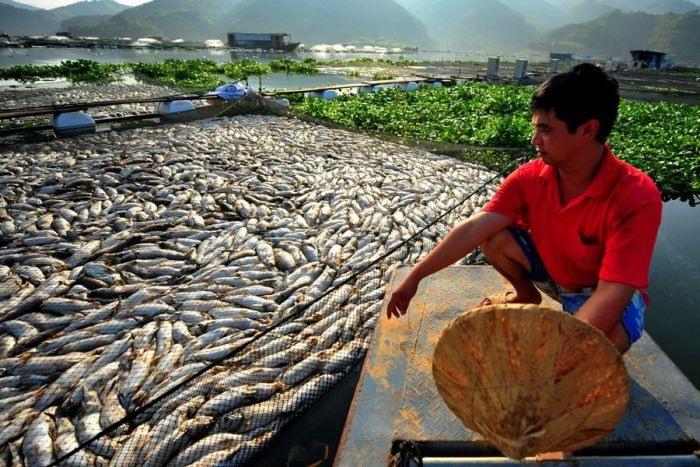 Mass Fish Death in China (7 pics)