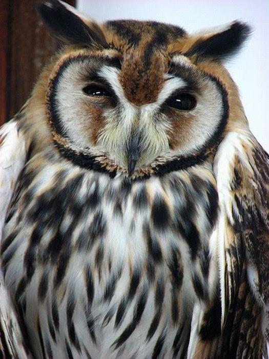 Beautiful Owls (111 pics)