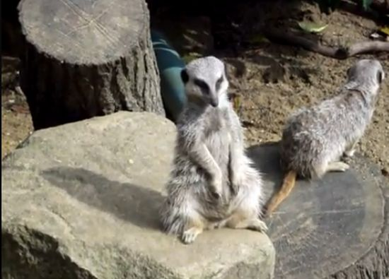 Meerkat Trying to Stay Awake