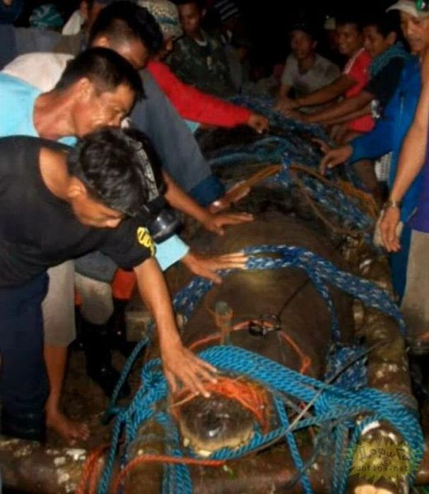 Huge Crocodile is caught in Philippines (7 pics + video)
