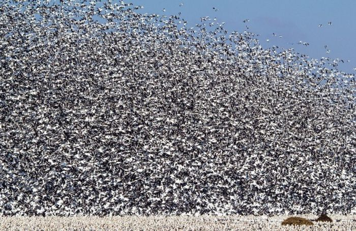 Million Geese in Missouri (21 pics)