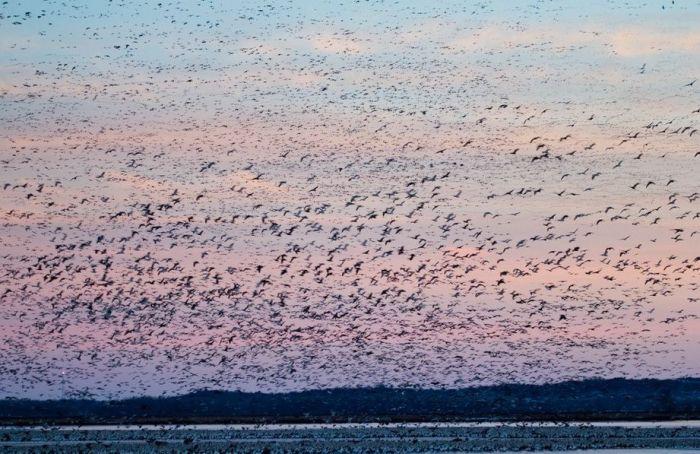 Million Geese in Missouri (21 pics)