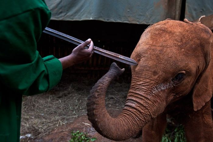 The Baby Elephant Orphanage in Kenya (18 pics)