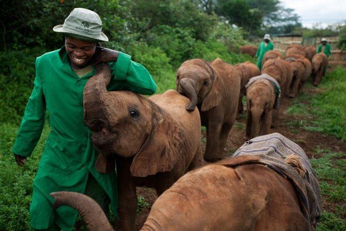 The Baby Elephant Orphanage in Kenya (18 pics)