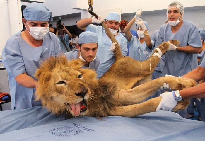 Tiger and Lion Dentistry (14 pics)