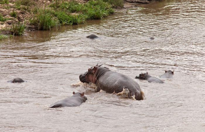 Antelope Saved by a Hippo (17 pics)