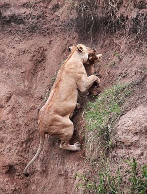Lion Cub Saved by Lioness (5 pics)