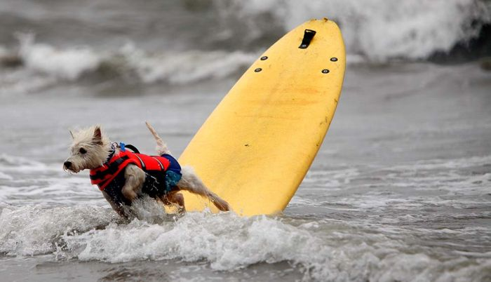 Surfing Dogs. Part 2 (17 pics)
