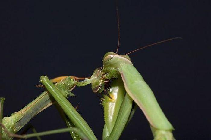 Female Praying Mantis Kills Her Partner (10 pics)