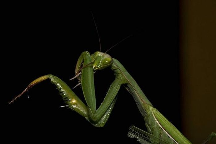 Female Praying Mantis Kills Her Partner (10 pics)