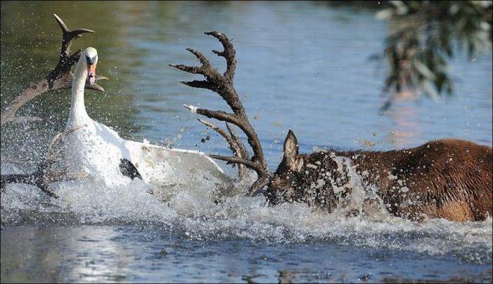 Deer vs Swan Fight (5 pics)