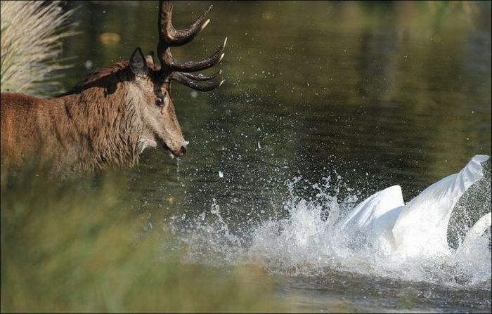 Deer vs Swan Fight (5 pics)