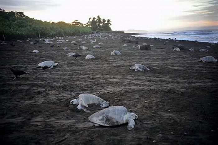 Collecting Sea Turtle Eggs in Costa Rica (12 pics)