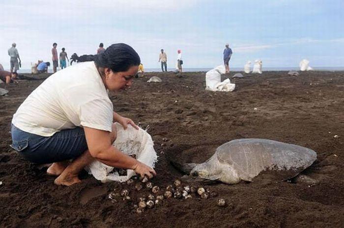 Collecting Sea Turtle Eggs in Costa Rica (12 pics)