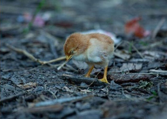 Don't Mess with Chickens (4 pics)