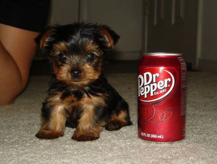 Puppies The Size Of Soda Cans (19 pics)