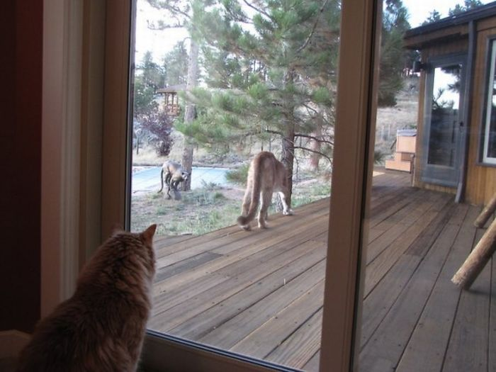 Cat vs Mountain Lion (15 pics)