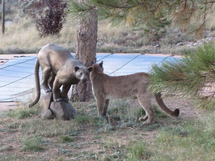 Cat vs Mountain Lion (15 pics)
