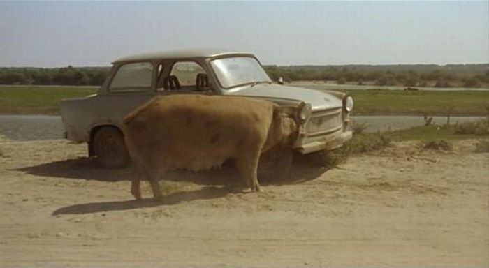 Pig Eating a Car (5 pics)