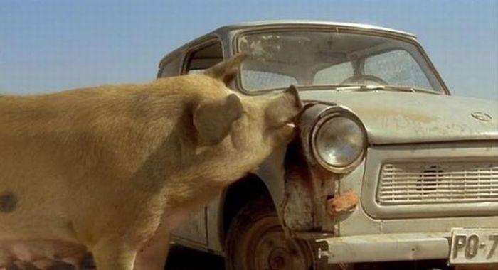 Pig Eating a Car (5 pics)