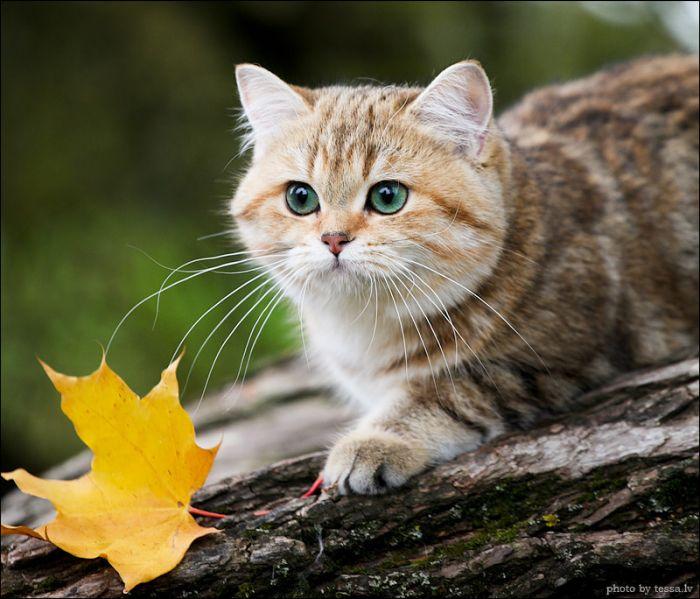 British Shorthair Cat in a Fall Mood (8 pics)